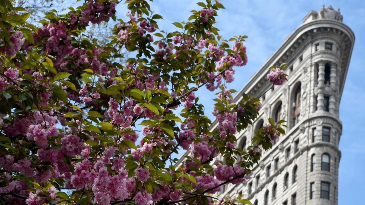 FLATIRON. El edificio Flatiron se ve en el fondo de la imagen detrás de los árboles en flor en el parque Madison Square, en Nueva York, el 25 de abril de 2016. (AFP / TIMOTHY A. CLARY)