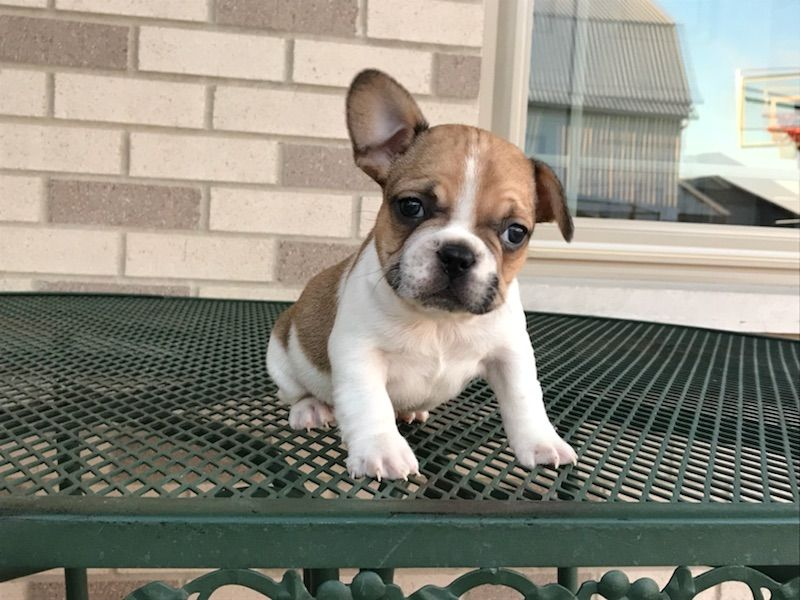 Oh My Goodness Look How Adorable This French Bulldog Puppy Is My Best Friend Is Looking Into Adopting A Puppy For Her Little Bo Puppies Puppy Adoption Animals