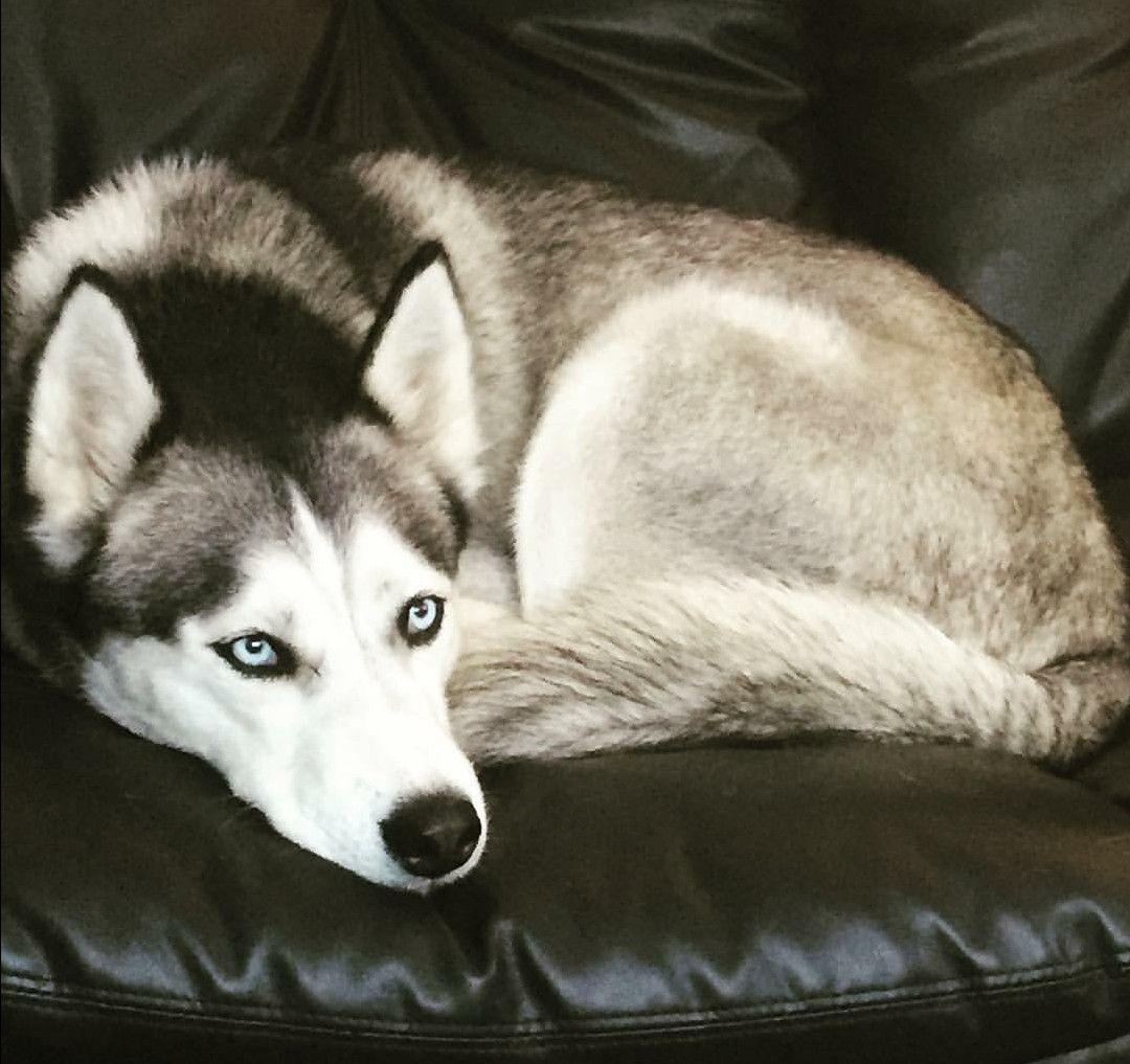 Always On The Couch Siberian Husky Husky Dogs