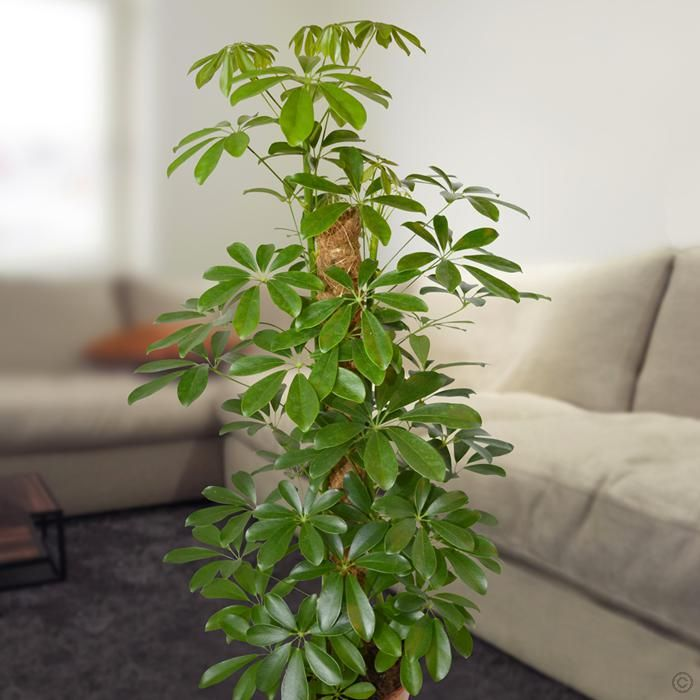 Schefflera Arboricola Nora 1 Plant Buy Online Order Yours Now Plants Schefflera Umbrella Tree