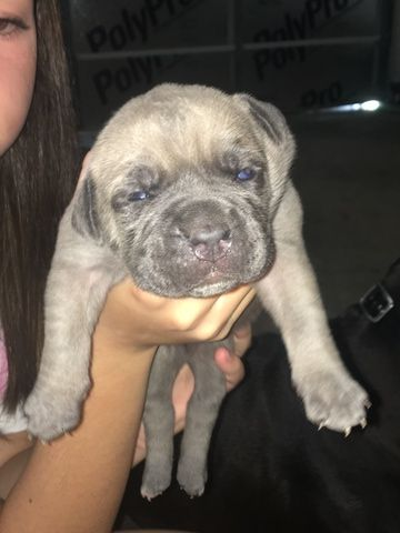 Litter Of 9 Cane Corso Puppies For Sale In Chapin Sc Adn 33107 On Puppyfinder Com Gender Female Age 4 Weeks Old Puppies For Sale Cane Corso Puppies