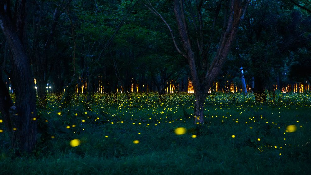 Fireflies 12 Things You Didn T Know About Lightning Bugs With