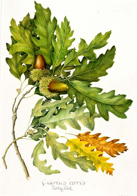 botanical illustrations oak Google Search Botanical