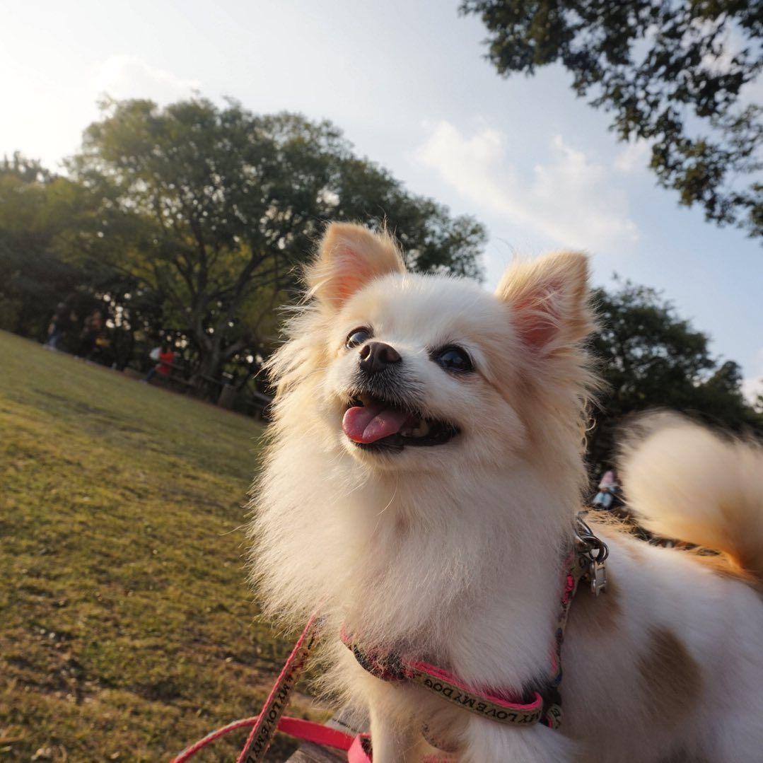 #제주도 #애견동반여행 #pet #petstagram #petlovers #pets #petlife #dog #doglover #doglife #dogstagram #dog #pomeranian #pom #pomeranianworld #pomstagram #pompom #반려견 #댕댕이 #포메라니안 #puppy #puppylove #puppygram #animal #animegirl #koreadog #koreangirl #korea #korean #맞팔