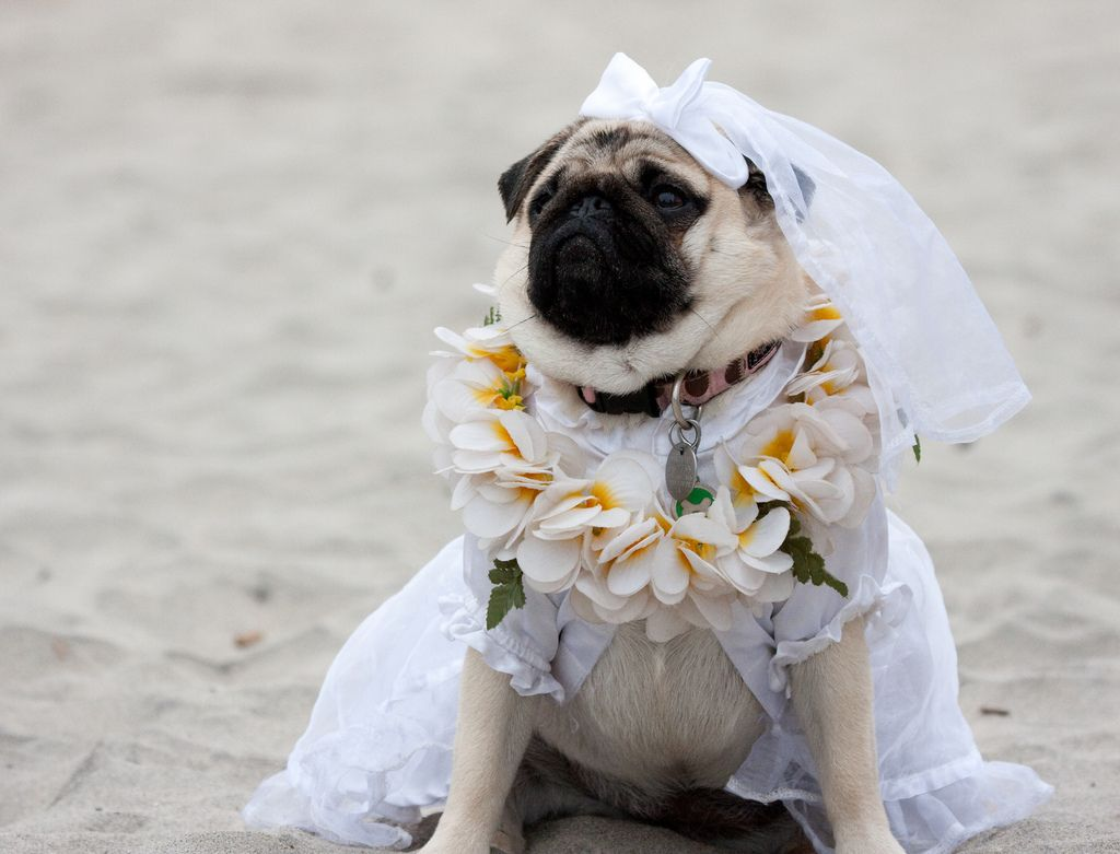 Lovely Pugs Pugs Funny