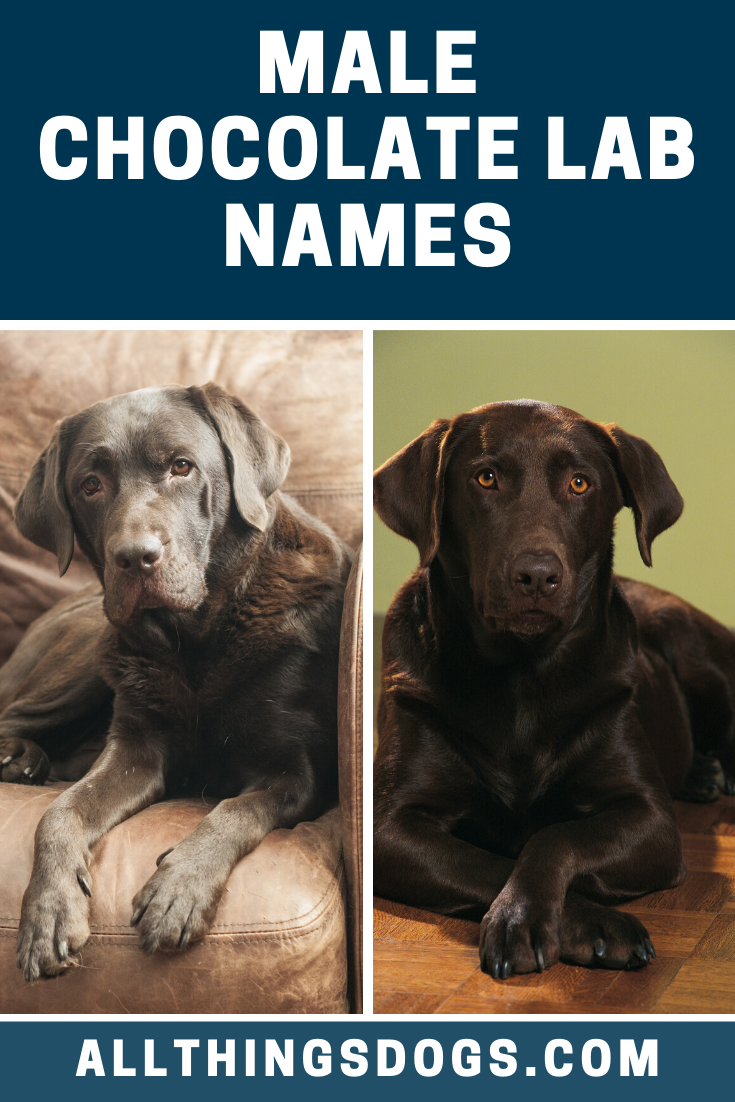 Your Male Chocolate Labrador Is Bound To Become A Vital Member Of Your Pack So It S Important To Choose A Great Name For Him We Looked At Some O Dog Names