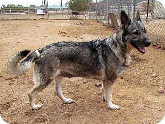 San Tan Valley Az German Shepherd Dog Norwegian Elkhound Mix