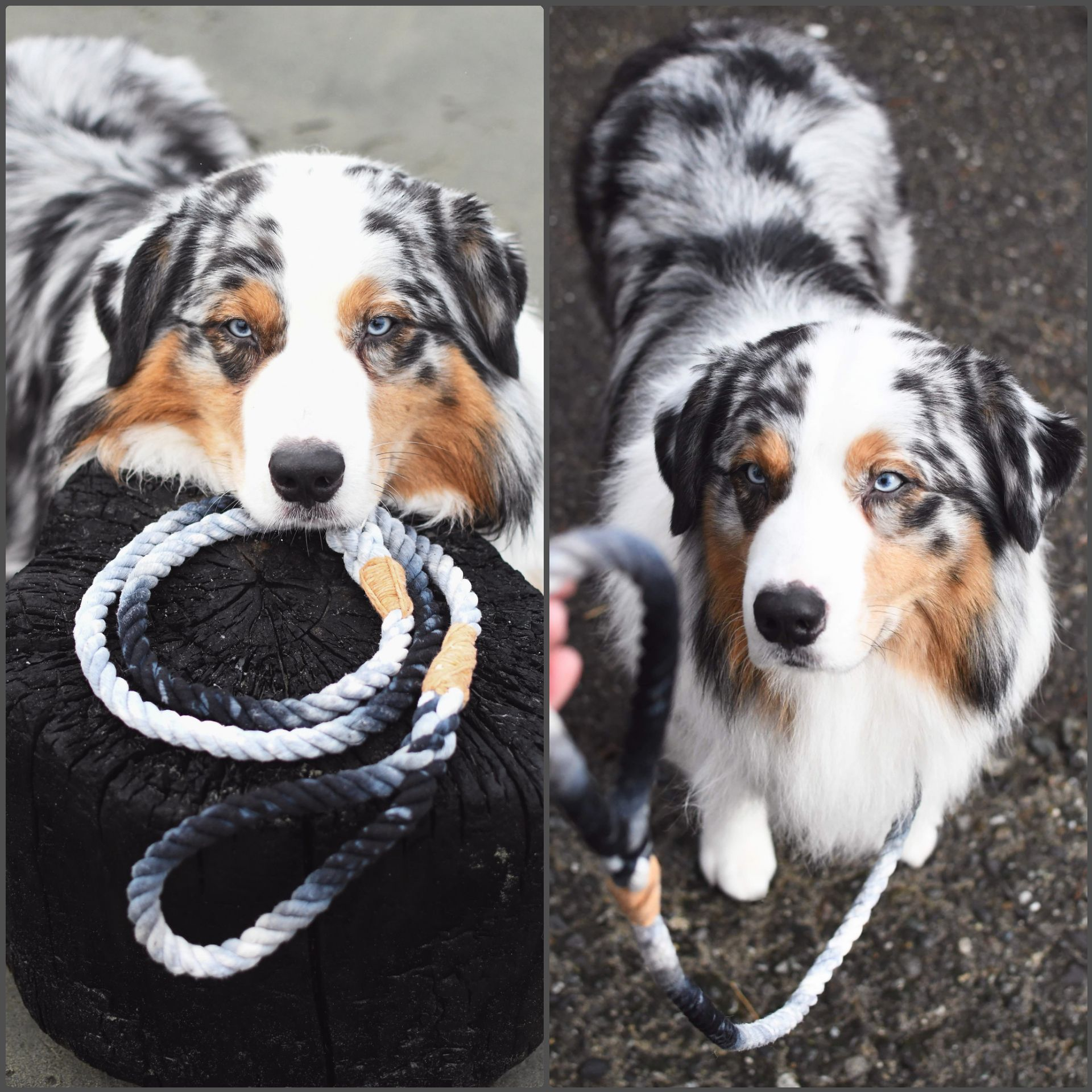 Love Our Custom Blue Merle Slip Rope Leash Australianshepherd In