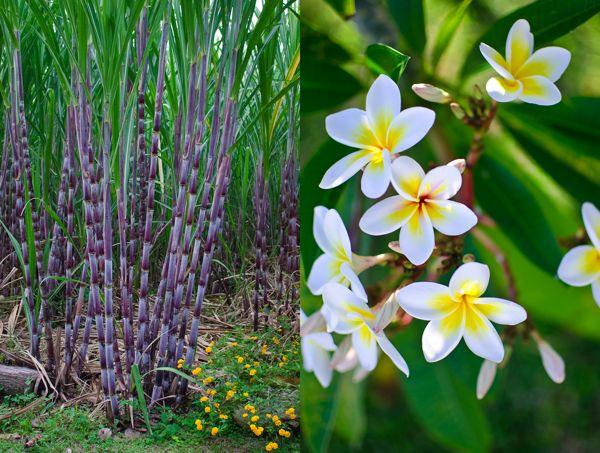 Cane Field & Frangipani Flower Reunion Island | Beauty of ...