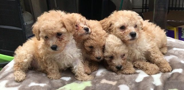 Poodle Toy Puppy For Sale In Cicero Il Adn 39556 On