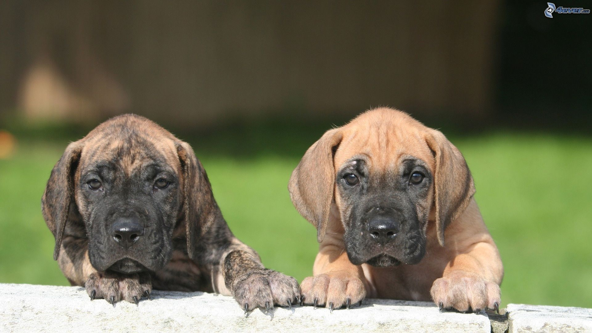 deutsche dogge welpen deutschedogge,welpen232822.jpg