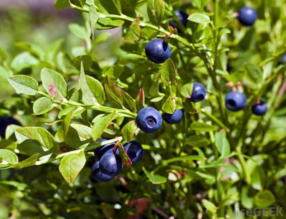 Huckleberry Huckleberry Plant Huckleberry Bush Wild Ginger Plant