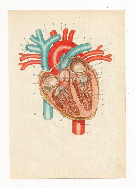 Anatomically correct heart, human heart diagram, anatomy ...
