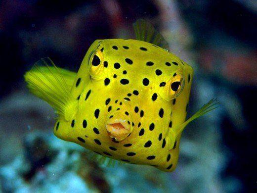Yellow Boxfish Underwater Animals Sea Fish Tropical Fish