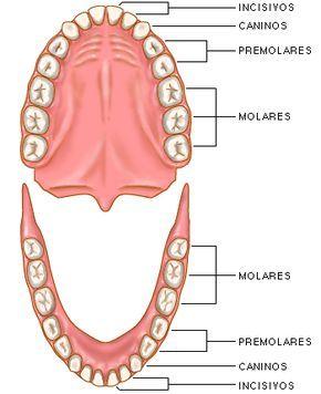 Dentaduras Superior E Inferior Cuidado De Los Dientes Salud Bucal Salud Bucal Ninos