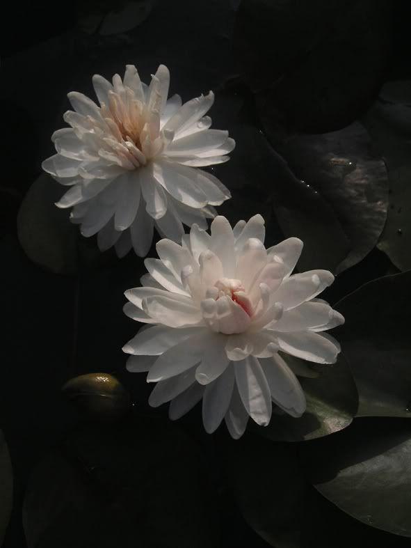 1000 Petal Lotus Kamala Lotus Lily Pinterest Lotus Pink