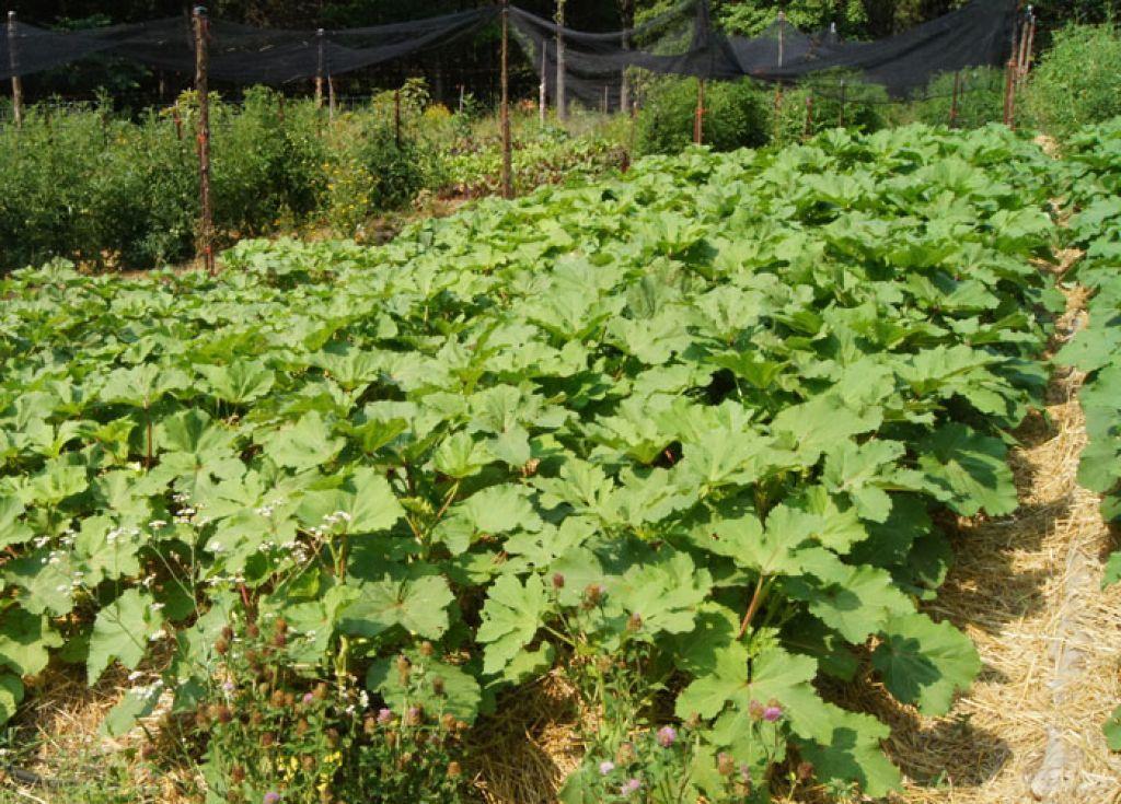 Vegetable Garden With Okra Plants