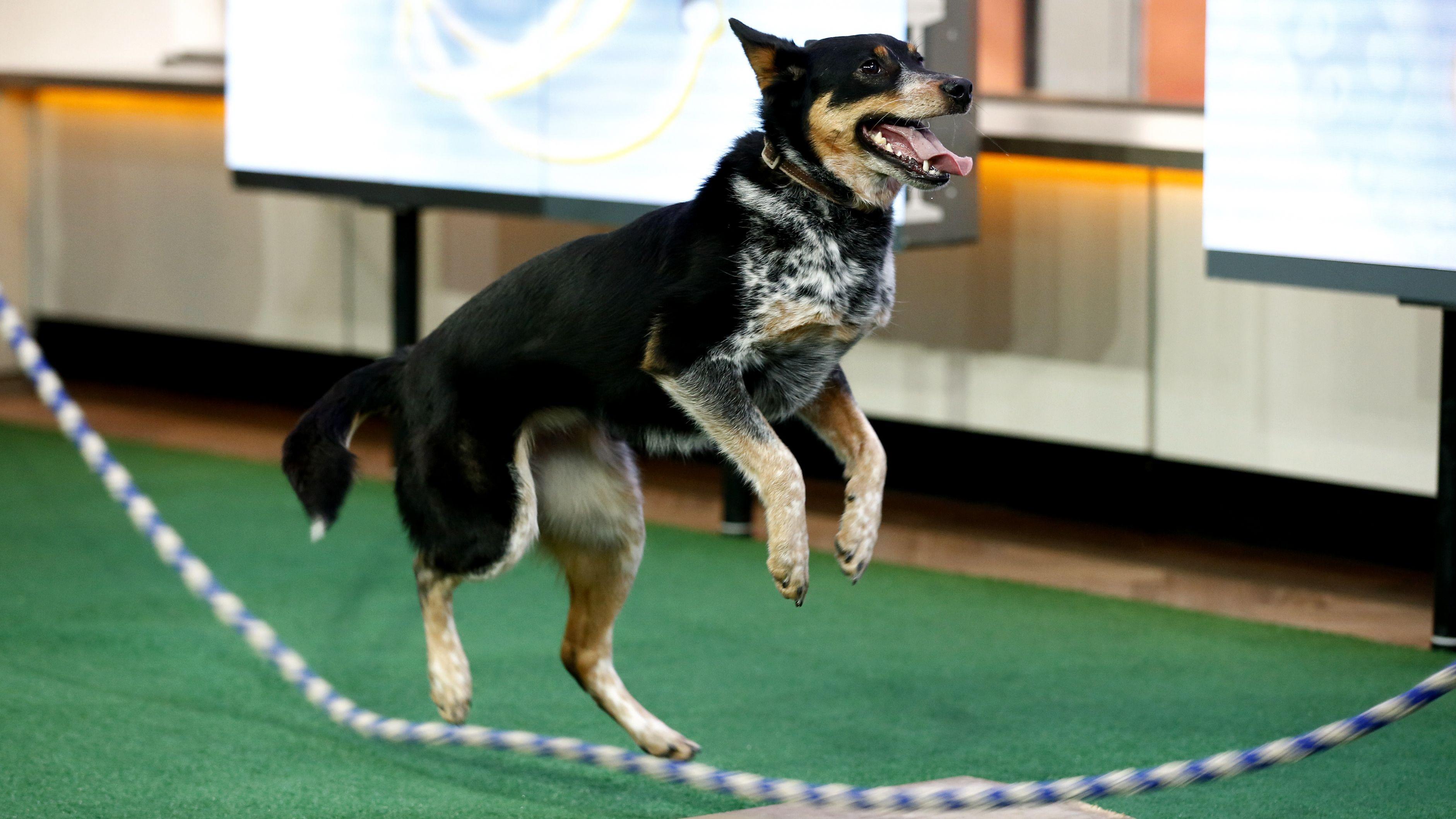 BowWOW! DoubleDutch dog breaks Guinness jump rope record