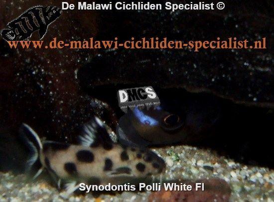 Synodontis Polly White Tanganyika Catfish Cichliden
