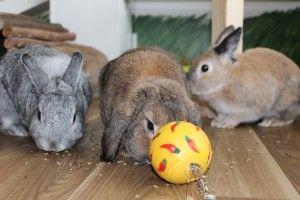 pin von best 4 bunny auf rabbit toys boredom busters pinterest hase hund und katze und. Black Bedroom Furniture Sets. Home Design Ideas