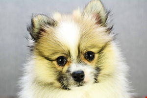 Pomeranian Puppies for Sale Ohio Pom Pups Online