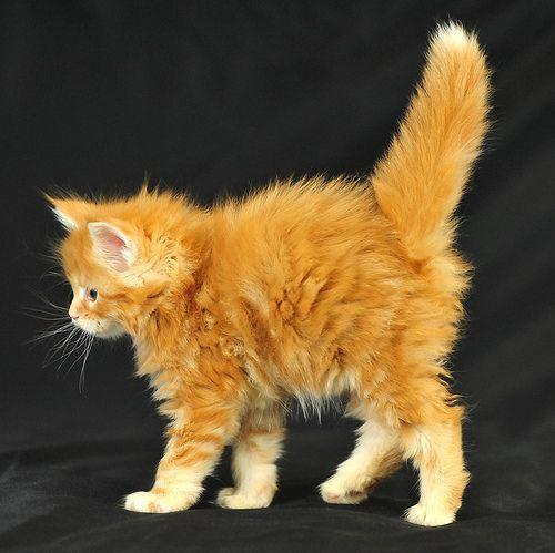 Orinoco Cats Fancy Cats Crazy Cats