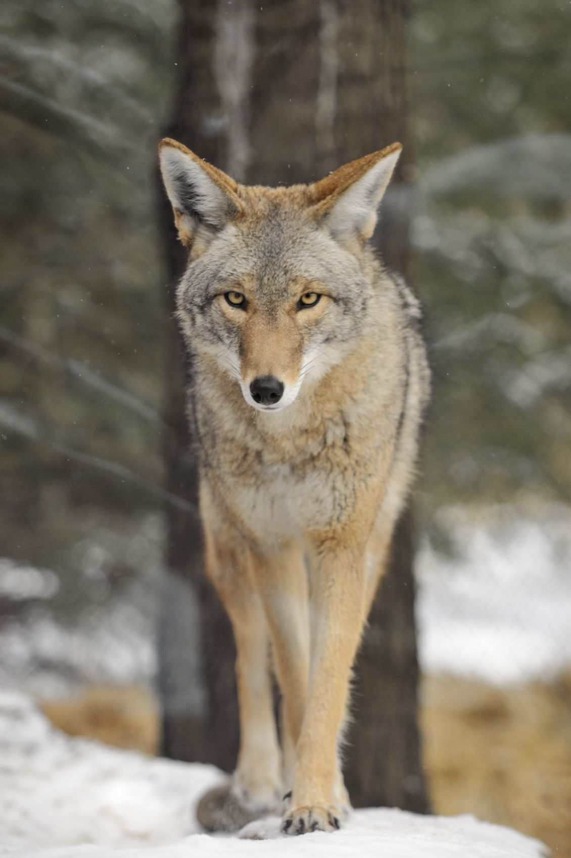 Coyote Awareness The Coyote is a common resident of the
