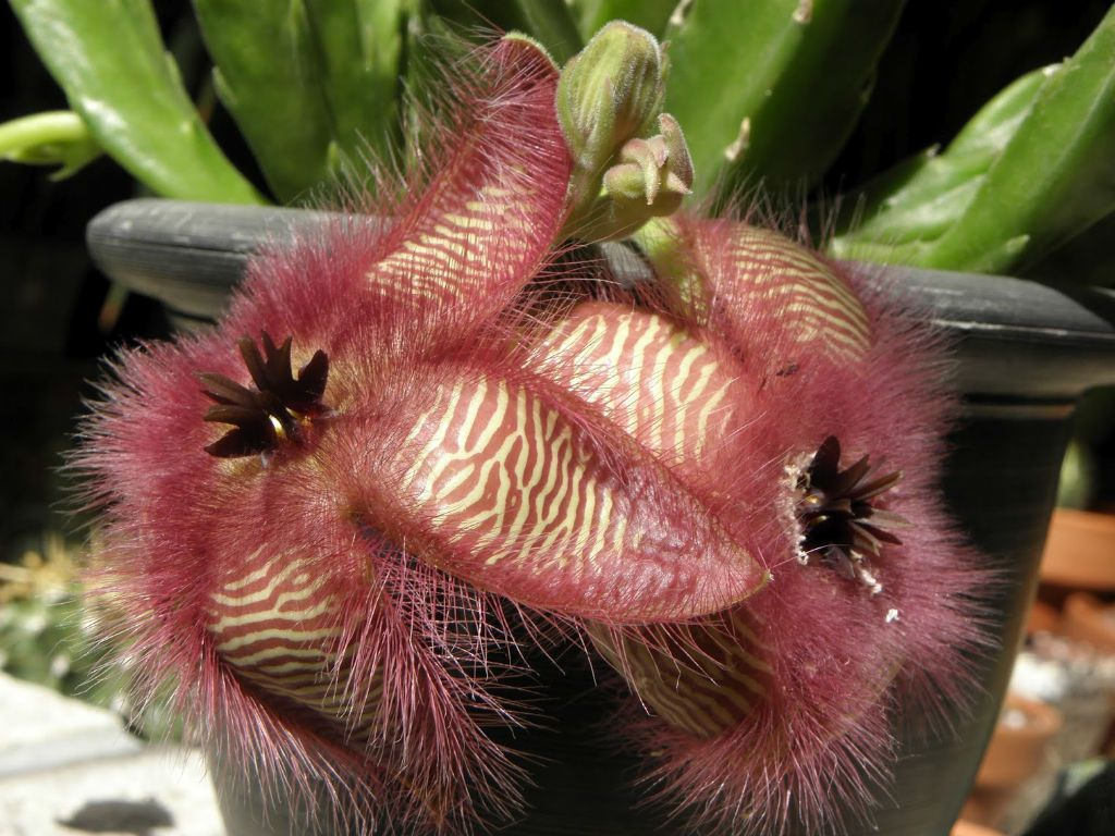 Stapelia Hirsuta Succulents Carrion Flower Brown Flowers