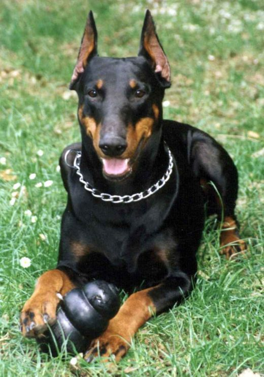 Guard Dogs Doberman Dogs Doberman Dog Breed Guard Dog Breeds