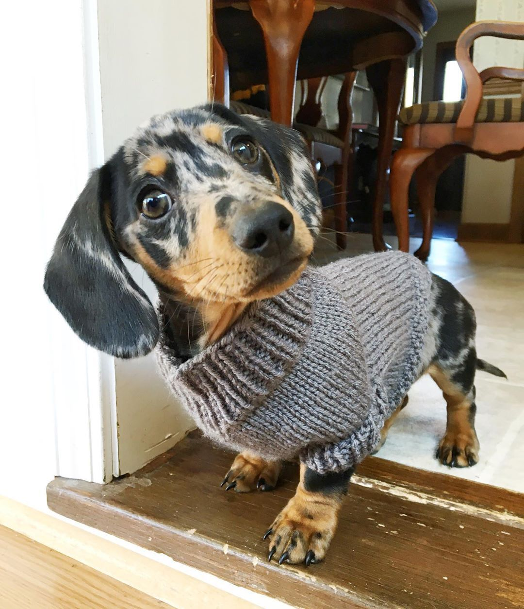 Adorable Dapple Dachshund Visit Our Blog Dachshund Central Com To Find The Be Dapple Dachshund Dapple Dachshund Miniature Cute Little Animals
