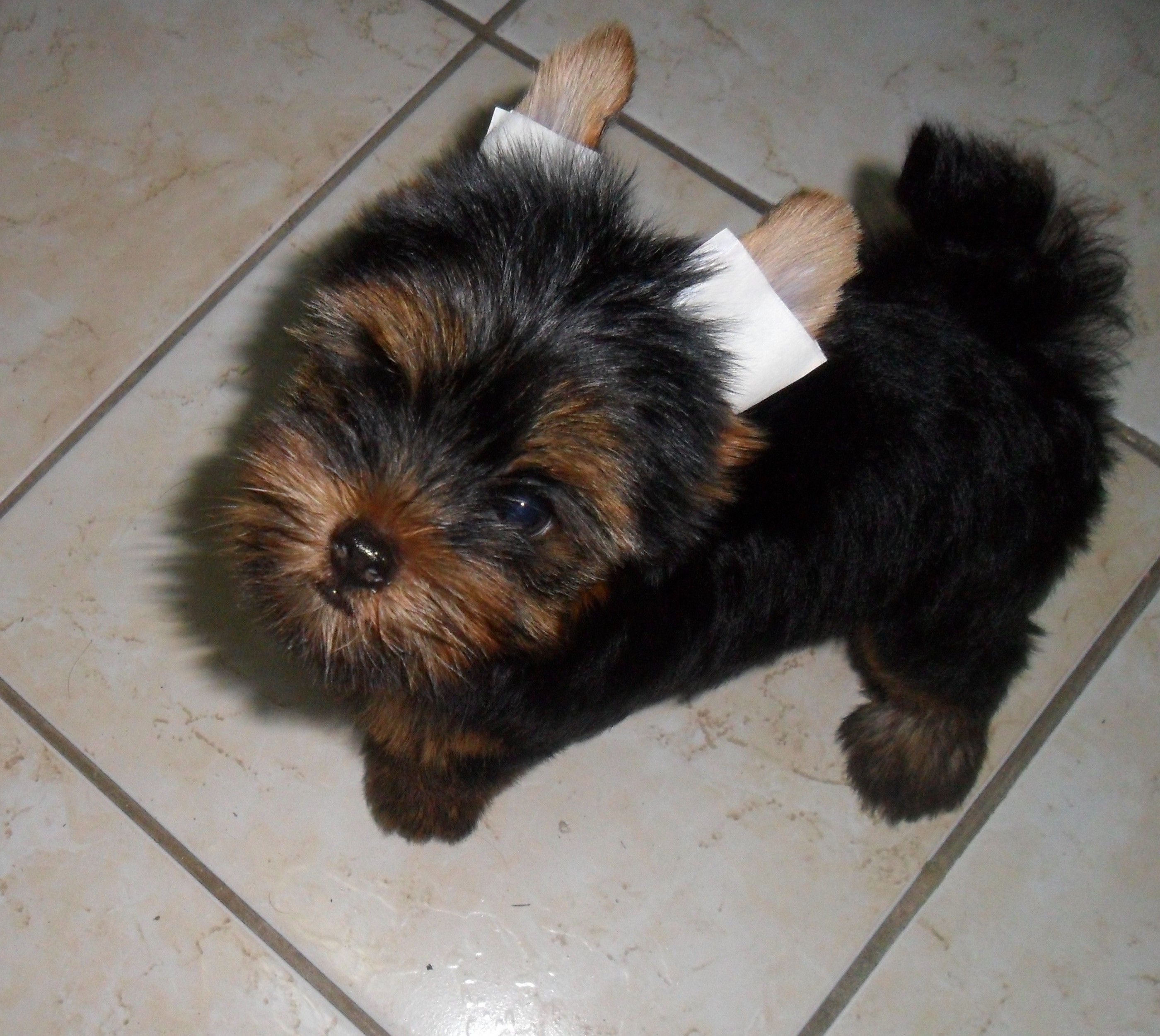 Black Yorkshire Terrier Puppies Here Is Why I Pawsitively Love Boston Terrier With Images Yorkshire Terrier Yorkie Terrier