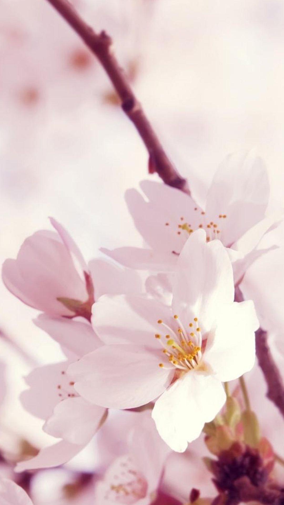 Beautiful chineseasia flowers sakura plum blossoms