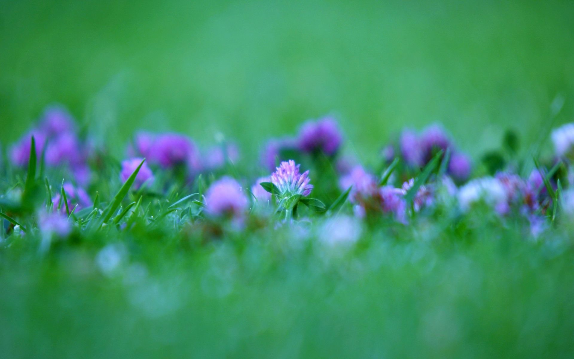 Wallpaper Flower Violet Rose Buds Flowers Reses Nature Desktop Hd