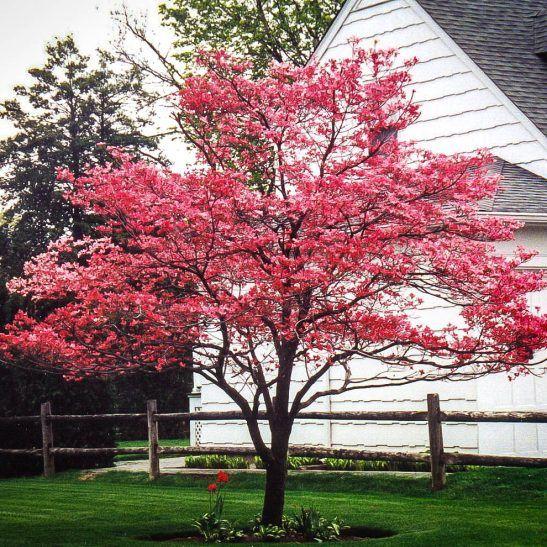 Cherokee Chief Dogwood Tree Dogwood Trees Dogwood Tree Landscaping Trees To Plant