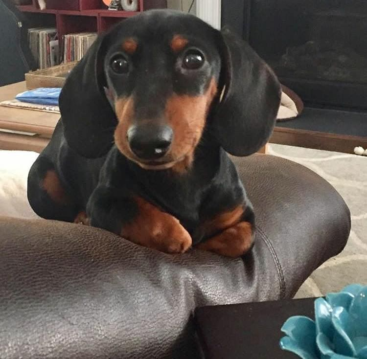 Photos Of I Love Dachshunds Laurie Vandervelden Facebook Cute Puppies Dachshund Dog Dogs