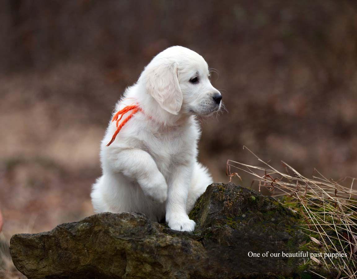 White English Cream Golden Retriever Pups Golden Retriever Retriever Golden Retriever Funny