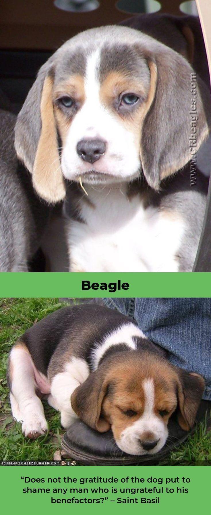 Beagle Puppy Beaglesdaily Beagles Funny Beagle Beagle Puppy
