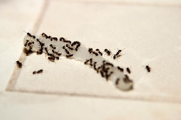How To Get Rid Of Tiny Black Ants In The House Black Ants Ants In House Tiny Ants