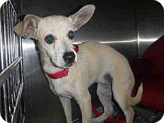 Los Angeles, CA - Chihuahua. Meet A1424505 a Dog for Adoption.