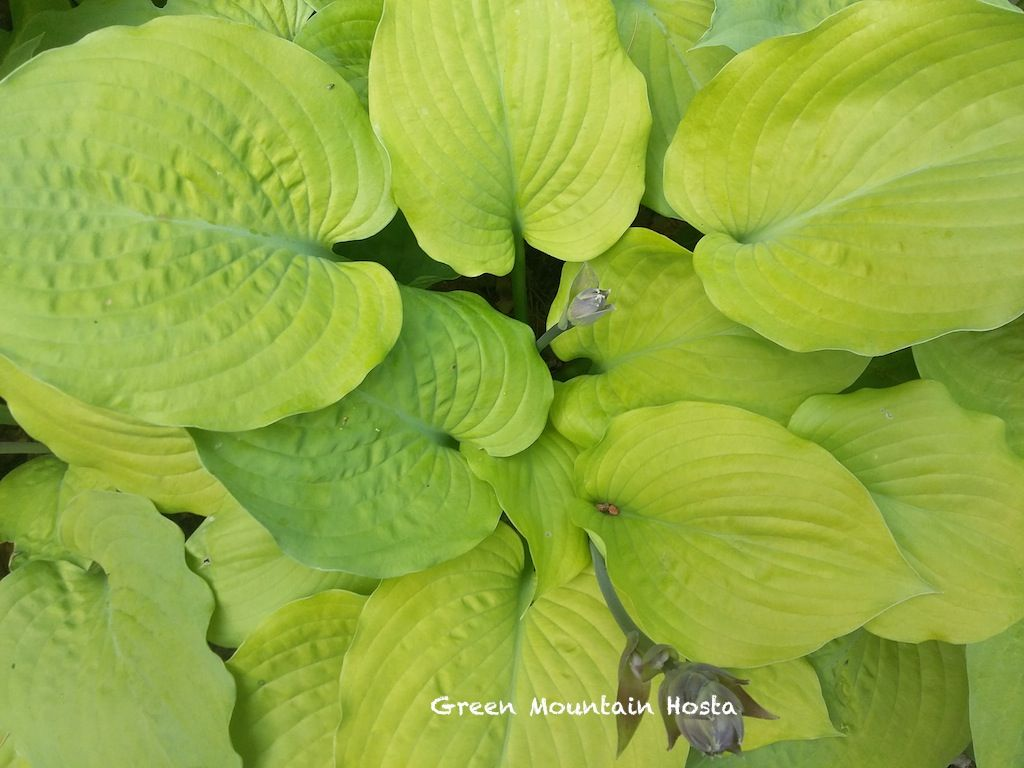 Corn Muffins Hosta Small Reduced Was 1400 Try In Garden
