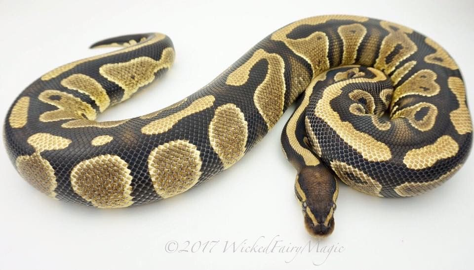 Pin by WickedFairyMagic on Ball Python Morphs Ball