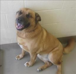 Quinn Is A Happy Rottie Chow Mix Available At Animal Allies Duluth Mn Quinn Is A Handsome Mix And Is A Big Boy At Almost 90 Pound Rottie Dog Lovers Dogs