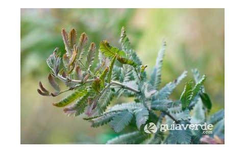 Mimosa dorada, Acacia de Bailey-Acacia baileyana