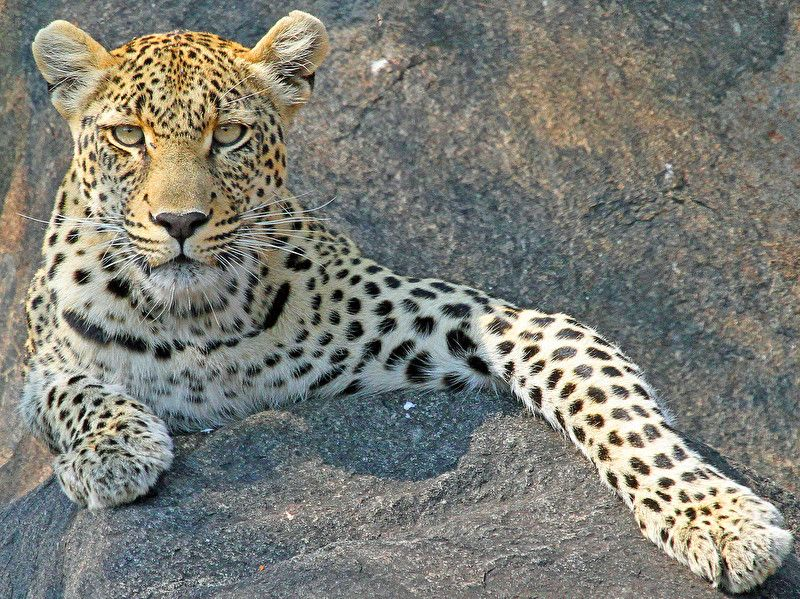 Photo shared by Anthony Goldman on community of wildlife photographers All credit to Anthony Goldman  Click below link to see in full mode http://photos.wildfact.com/image/171/leopard-on-the-rocks