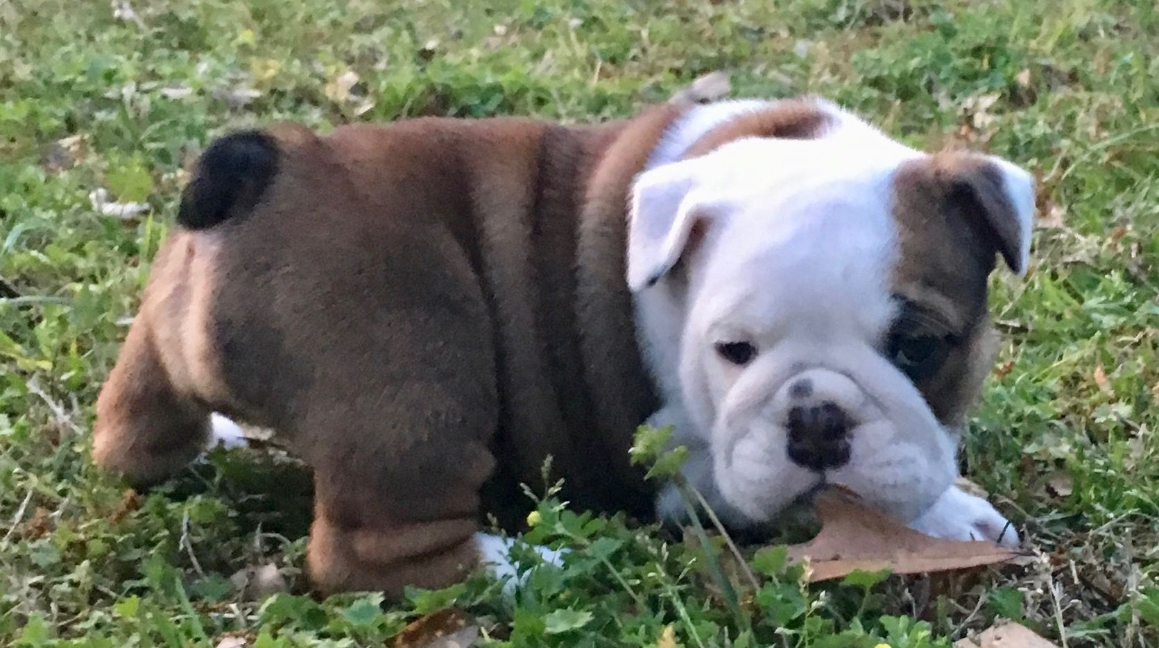 Clara Is A Fawn Female English Bulldog Puppy American Born And Raised With Champion Lines Being Sold With A One Year Pu Bulldog English Bulldog Puppy Puppies