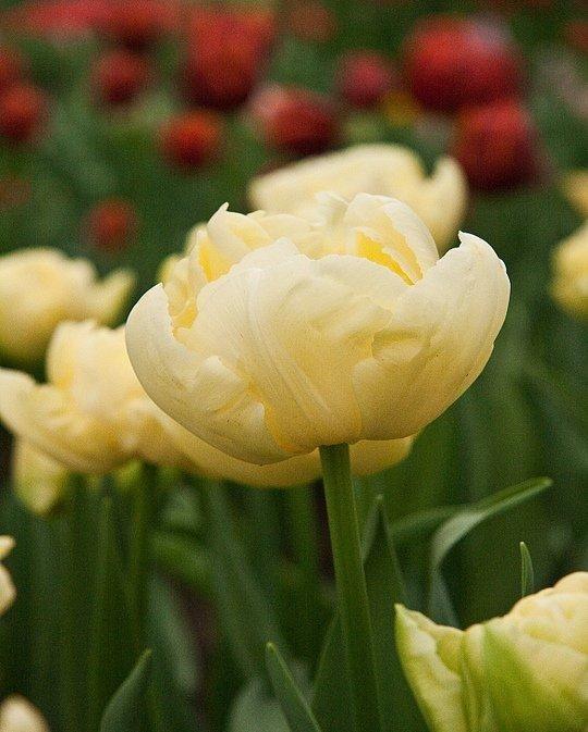 Tulip Verona | Garden bulbs, Bulb flowers, Planting bulbs