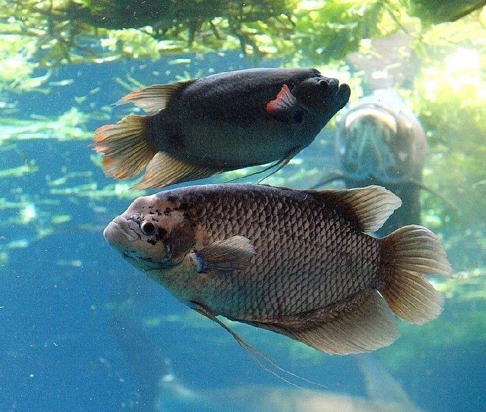 Ternak Ikan Gurame Kolam Terpal