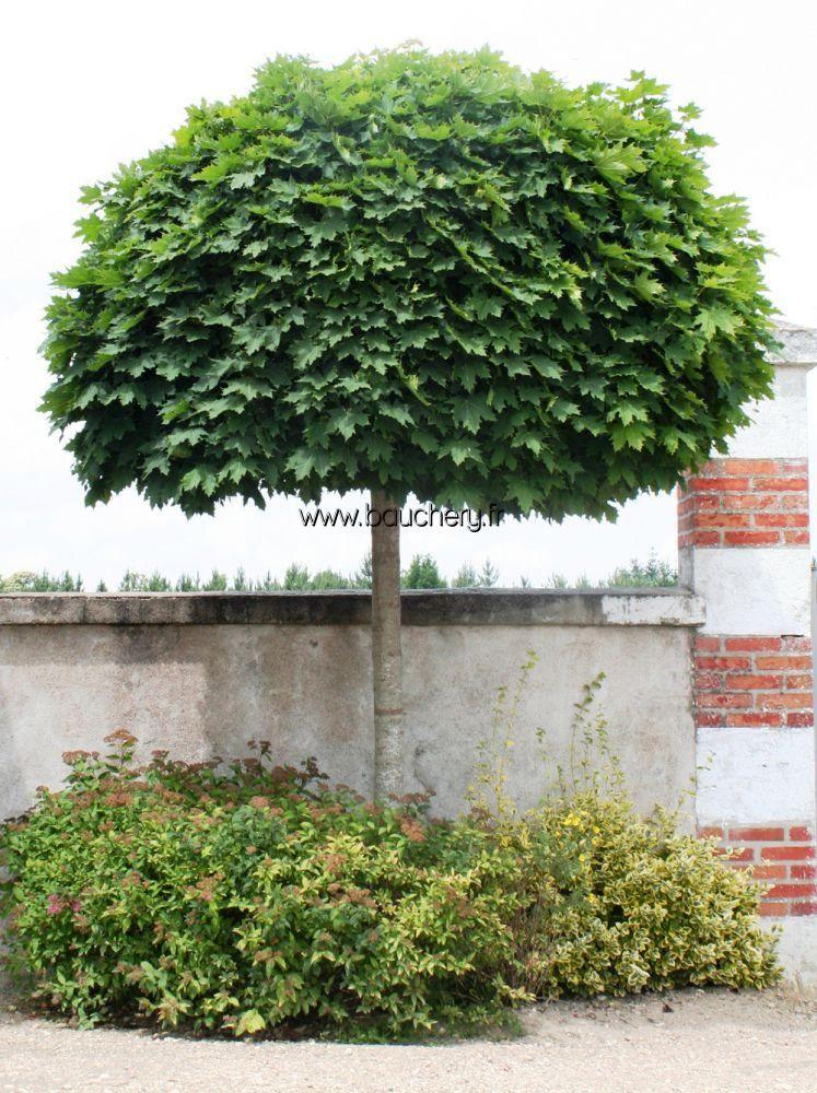 Acer platanoides 39 globosum 39 erable boule jardin for Jardin et plantation