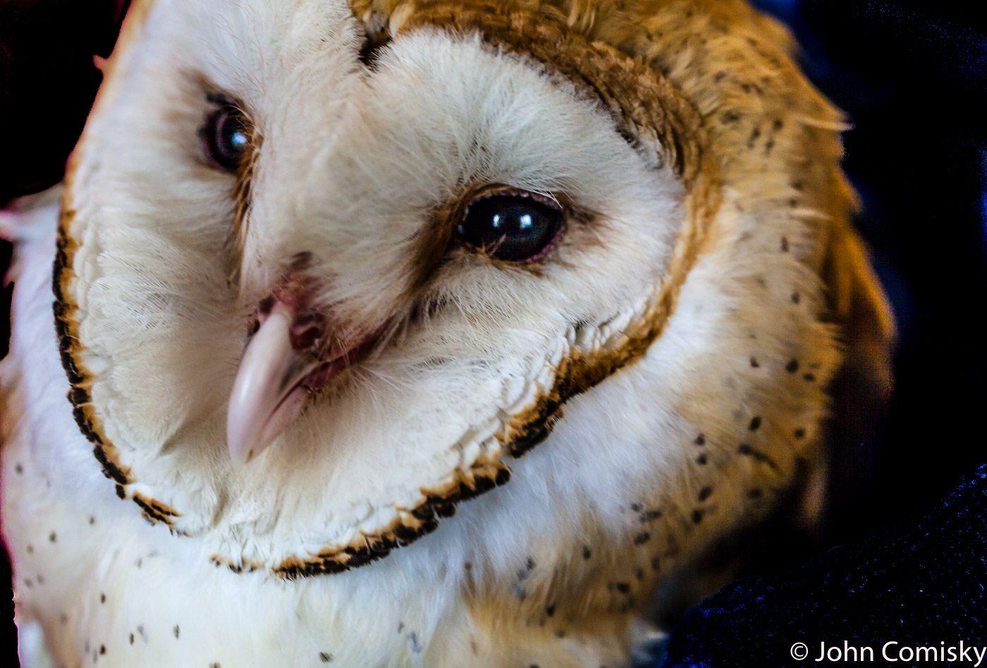 Barn Owl in Rehab Barn owl, Owl, Wild birds
