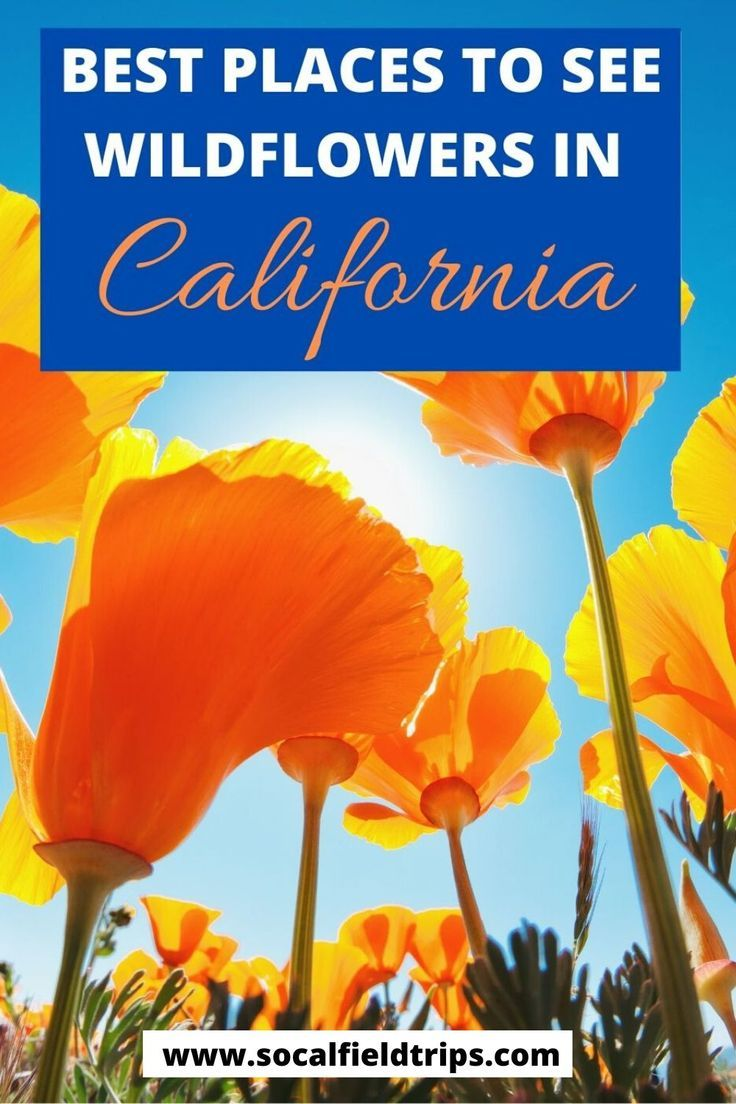 See the beautiful wildflowers in California this spring!  Peak season for seeing wildflowers in Southern California can vary somewhat from year to year, based on rainfall amount and temperatures.  Click here to read the full list of where to go and what types of flowers you will see including the famous California poppy. #wildflowers #la #losangeles #orangecounty #californiawildflowers #travel #familytravel #springtravel #travelphotography #southerncalifornia #socal #santabarbara #desert